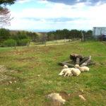 キャンプ場 子羊